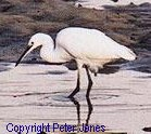 Little Egret - Link to Peter Jones' Web Site