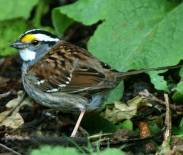 White-throated Sparrow (Steve Young)